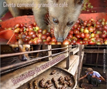 Proceso café civeta