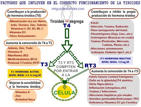 ASI FUNCIONA TU TIROIDES