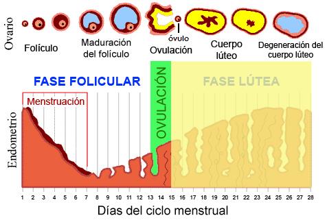 fasesciclomentrual